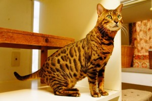 ベンガル猫 むぎ