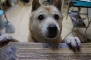 北海道犬のハナ子ちゃん