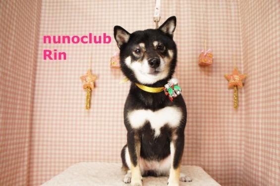柴犬のトリミング・グルーミング写真