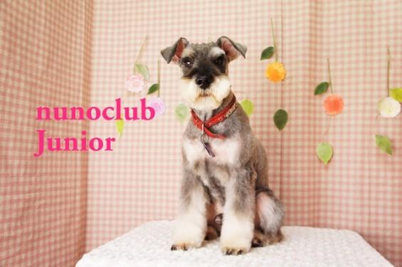 nunoclub.com トリミングサロン シュナウザーのトリミング・グルーミング写真