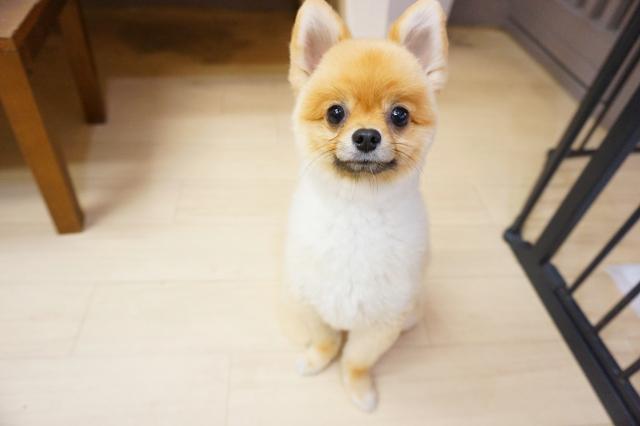 ヌーノクラブ新井薬師 東京の犬のホテル ポメラニアンのまめ太