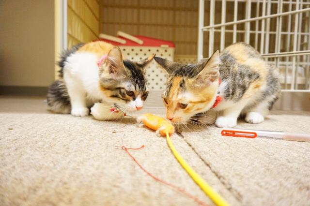 ヌーノクラブ新井薬師 猫専門のペットホテル 三毛猫ラッキー・ハッピ