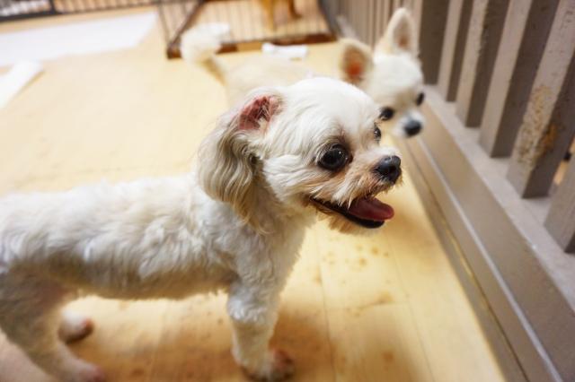 ヌーノクラブ新井薬師 東京の犬のホテル マルチーズ×シーズーのスージー