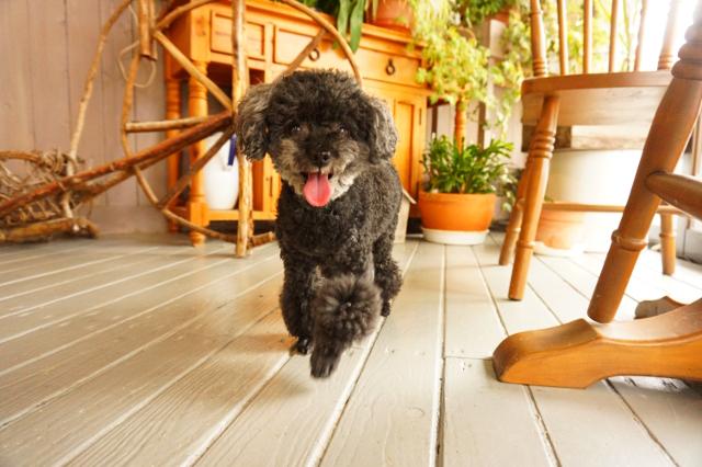 ヌーノクラブ新井薬師 東京の犬のホテル トイプードルのオズ