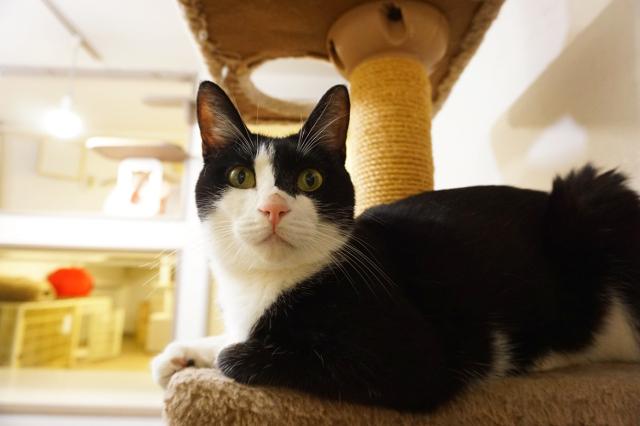ヌーノクラブ新井薬師 猫専門のペットホテル ミックスの花音