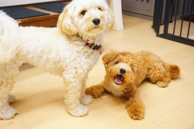 ヌーノクラブ新井薬師 犬のホテル トイプードルのサクラ・マルプーのあんこ