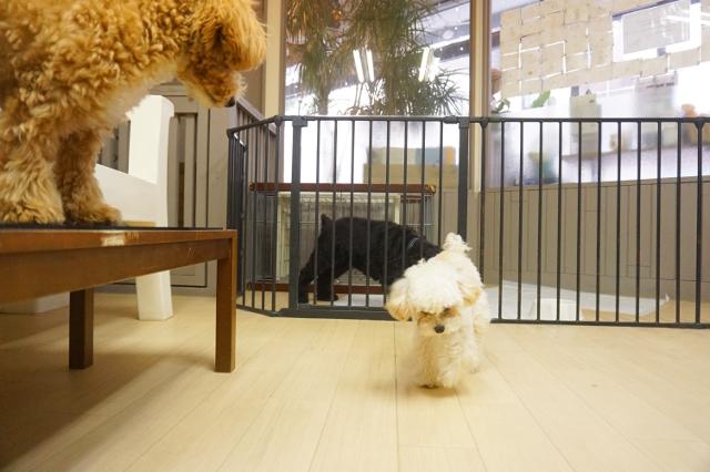 ヌーノクラブ新井薬師 犬のホテル トイプードルのプリル・マルプーのあんこ