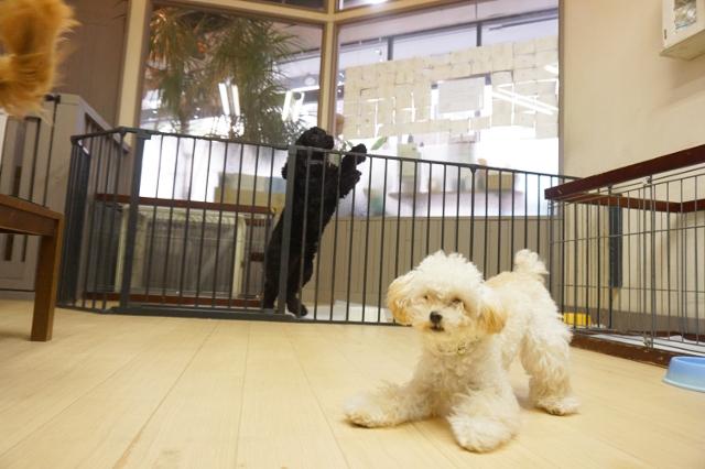 ヌーノクラブ新井薬師 犬のホテル トイプードルのプリル