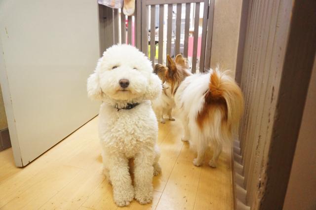 ヌーノクラブ新井薬師 犬のホテル ミニチュアプードルのペコちゃん