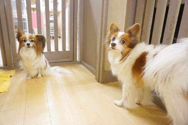 ヌーノクラブ新井薬師 犬のホテル パピヨンのチョビ・チュラ