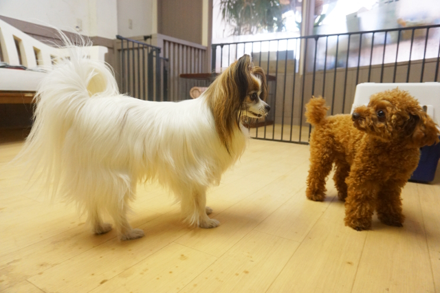 ヌーノクラブ新井薬師 犬のホテル パピヨンとトイプードルのピッピ