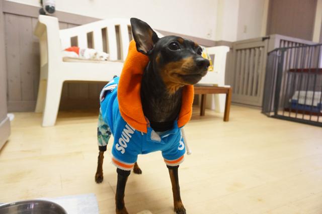 ヌーノクラブ新井薬師 犬のホテル ミニチュアピンシャーのマックス