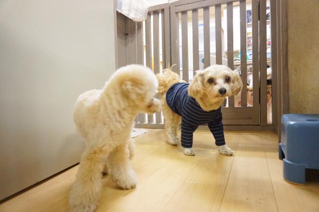 ヌーノクラブ新井薬師 犬のホテル チワワ×トイプードルのチャチャマル