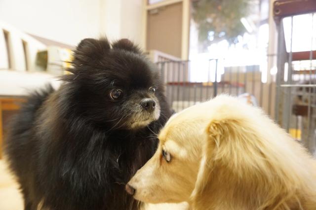 ヌーノクラブ新井薬師 犬のホテル ポメラニアンのレオナルドとダックスのココア