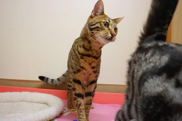 ヌーノクラブ新井薬師 猫のホテル ベンガルのmugi