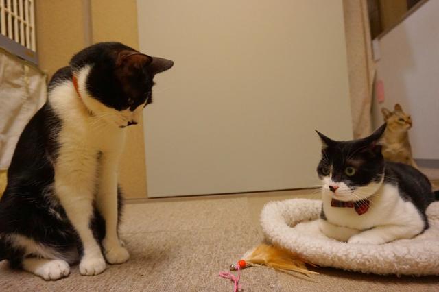 ヌーノクラブ新井薬師 猫のホテル ハチワレのそっくり2匹