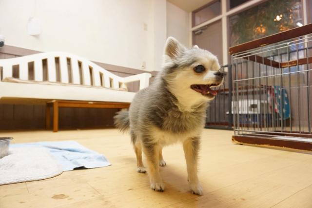 ヌーノクラブ新井薬師 犬のホテル チワワのおはぎ