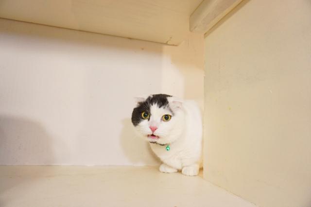 ヌーノクラブ新井薬師 猫のホテル マンチカンのドゥクス