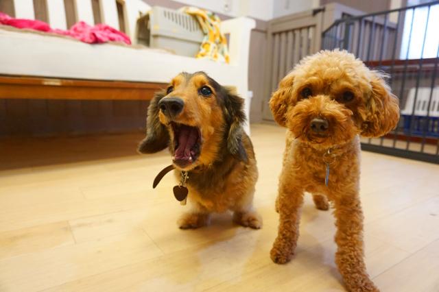 ヌーノクラブ新井薬師 犬のホテル ミニチュアダックスフントのルテア・トイプードルのマロン