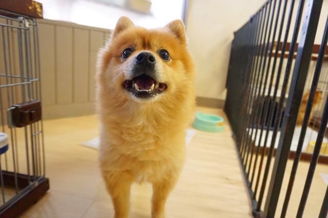 ヌーノクラブ新井薬師 犬のホテル ポメラニアンのチョッパー