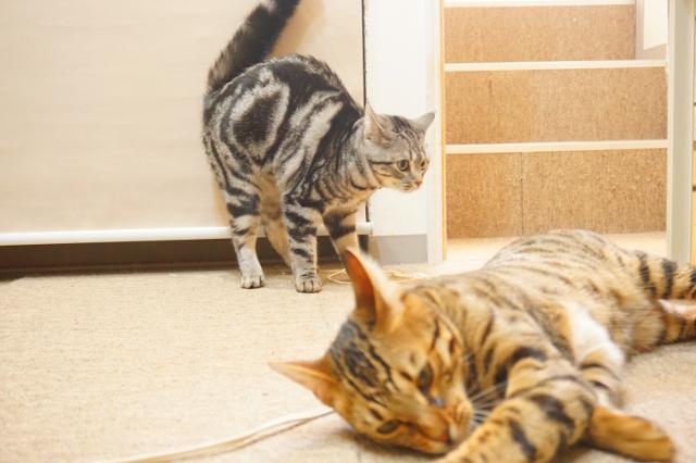 ヌーノクラブ新井薬師 猫のホテル アメショのベル・ベンガルのmugi
