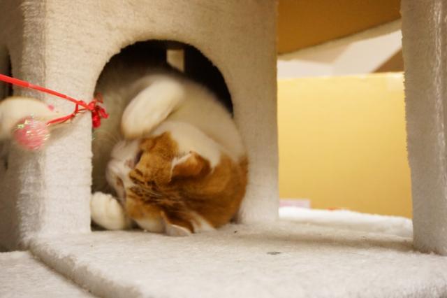 ヌーノクラブ新井薬師 猫のホテル チャトラのちゃらん