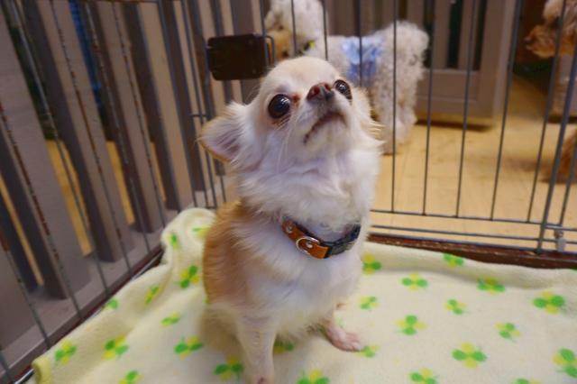 ヌーノクラブ新井薬師 犬のホテル チワワのタラ