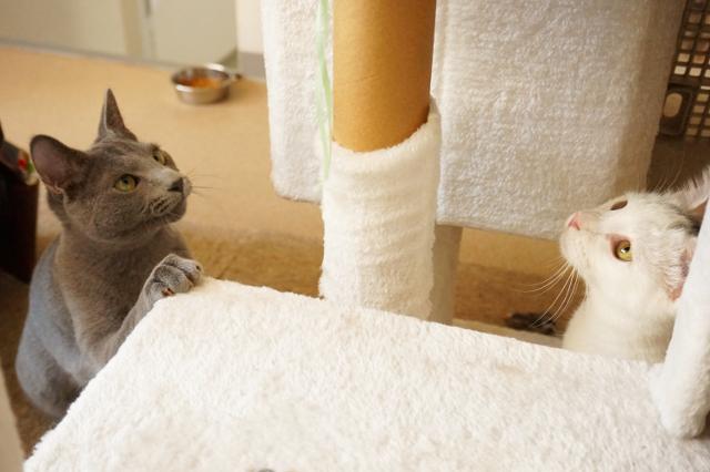 ヌーノクラブ新井薬師 白猫のゆず&ロシアンブルーのノノ