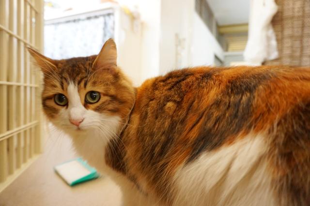 ヌーノクラブ新井薬師 猫のホテル ノルウェージャンフォレストキャットのミル