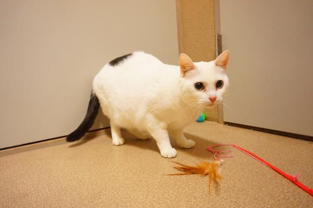 ヌーノクラブ新井薬師 猫のホテル 日本猫の姫