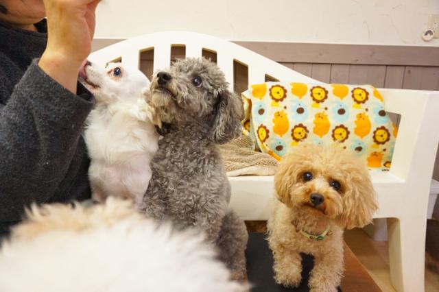 ヌーノクラブ新井薬師 犬のホテル トイプードルたち
