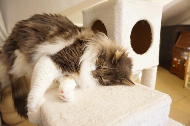 ヌーノクラブ新井薬師 猫のホテル ノルウェージャンフォレストキャットのジュノン