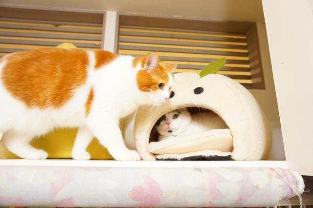 ヌーノクラブ新井薬師 猫のホテル マンチカンのドゥクスとミックス猫のうにゃーん