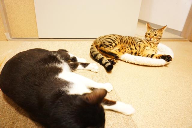 ヌーノクラブ新井薬師 猫のホテル ハチワレとベンガル