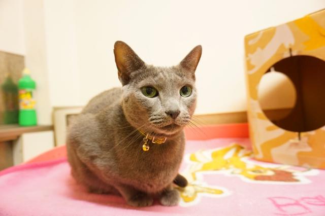 ヌーノクラブ新井薬師 猫のホテル ロシアンブルーのマクス