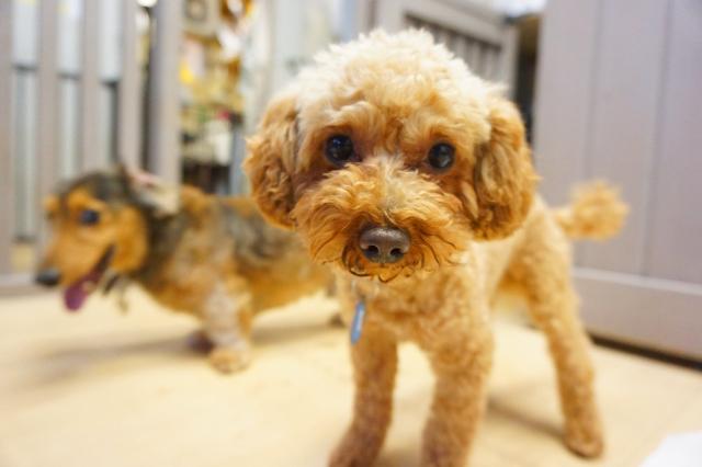 ヌーノクラブ新井薬師 犬のホテル トイプードルのマロン