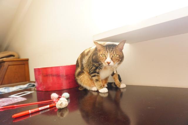 ヌーノクラブ新井薬師 猫のホテル アメリカンショートヘアのロッキー