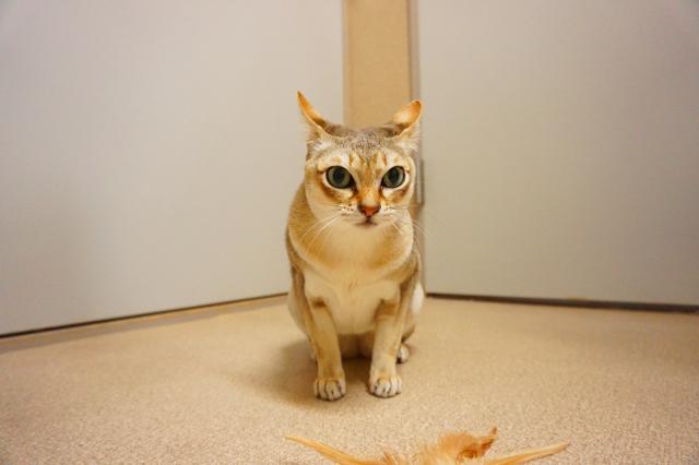 ヌーノクラブ新井薬師 猫のホテル シンガプーラのクー