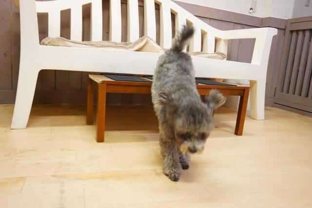 ヌーノクラブ新井薬師 犬のホテル トイプードルのレオン