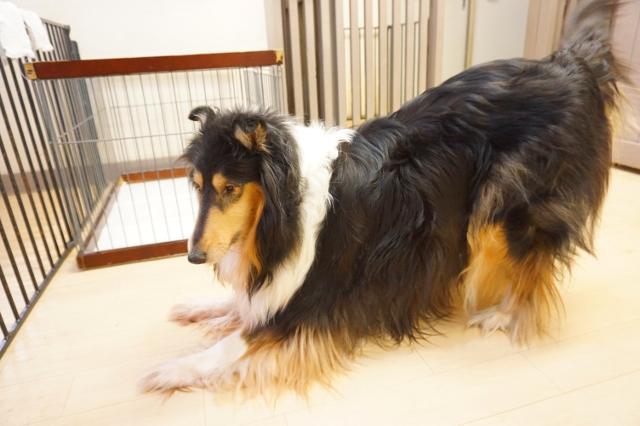 ヌーノクラブ新井薬師 犬のホテル ラフ・コリーのラン