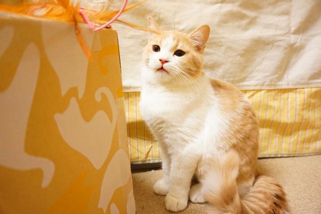 ヌーノクラブ新井薬師 猫のホテル ミックス猫のウーロン