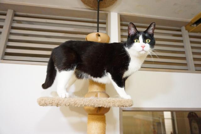 ヌーノクラブ新井薬師店 猫専門ホテル ハチワレの猫ちゃん