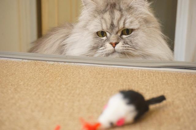 チンチラ猫のモルちゃん