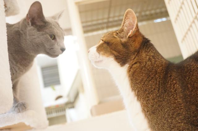 ヌーノクラブ新井薬師店 猫専用ホテル ロシアンブルーとミックスの猫