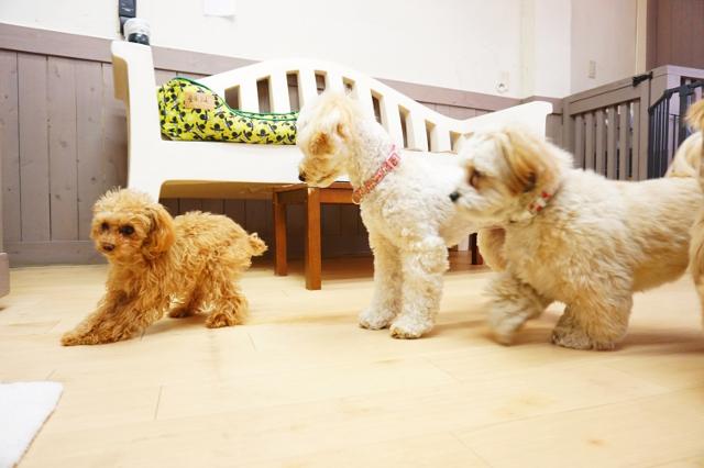 ヌーノクラブ新井薬師 犬のホテル ティーカッププードルのあずき・タイニープードル・マルプーのサクラ カニンヘンダックス×シーズーのあんず