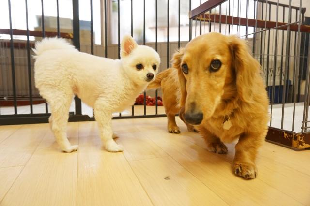 ヌーノクラブ新井薬師 犬のホテル ポメラニアンのララ&ミニチュアダックスフンドのスライム_640