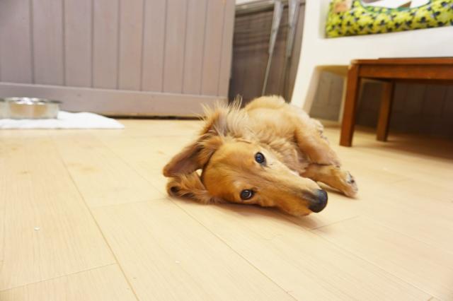 ヌーノクラブ新井薬師 犬のホテル ミニチュアダックスフンドのスライム