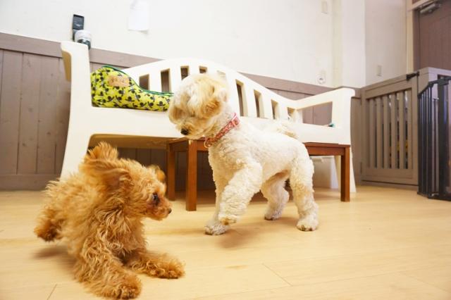 ヌーノクラブ新井薬師 犬のホテル ティーカッププードルのあずき・タイニープードル・マルプーのサクラ