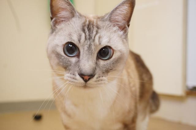 ヌーノクラブのお預かりの猫 アモルちゃん