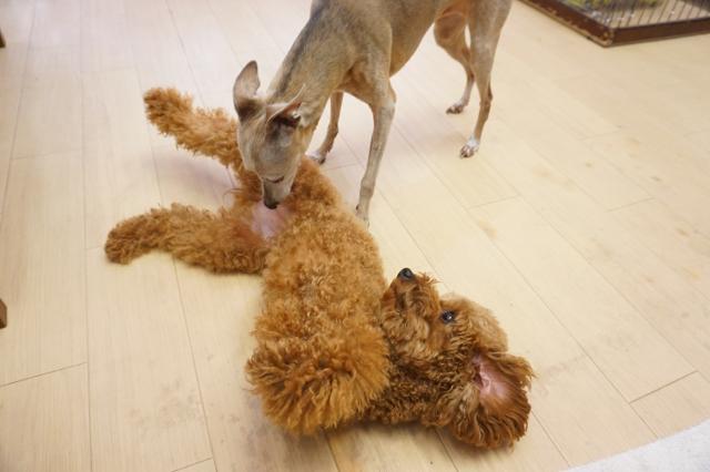 ヌーノクラブ 犬・ワンちゃんのペットホテル 滞在中のトイプードルのアニーちゃん